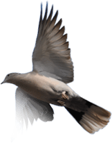 Freedom Dove image